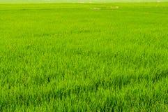 新绿色米领域在泰国,当日出时间 库存图片