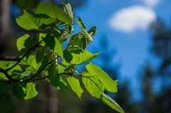 年轻新绿色离开反对太阳、天空和云彩 库存照片