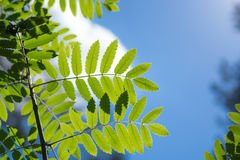 年轻新绿色离开反对太阳和天空在森林 免版税库存照片