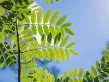 年轻新绿色离开反对太阳和天空在森林 图库摄影