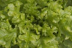新绿色莴苣背景 免版税库存照片