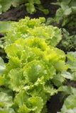 新绿色莴苣salat 健康的食物 库存图片
