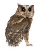 新bakkamoena印第安otus猫头鹰的scops 免版税图库摄影