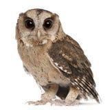 新bakkamoena印第安otus猫头鹰的scops 库存图片