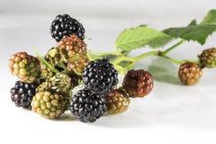 新blackberry& x27; 与绿色叶子的s在白色背景 免版税库存照片