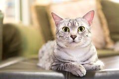 方便的埃及人Mau猫 免版税库存图片