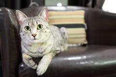 方便的埃及人Mau猫 免版税图库摄影