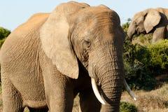 方式关闭-非洲人布什大象 库存照片