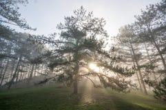 方式在杉木森林里,有雾 库存照片