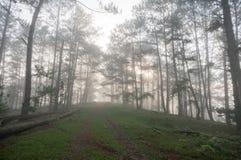 方式在杉木森林里,有雾 库存图片