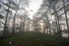 方式在杉木森林里,有雾 免版税库存图片