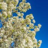 方形的关闭白色开花的树被隔绝反对清楚的天空蔚蓝背景 免版税图库摄影