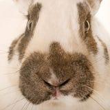 方格的巨型兔子 图库摄影