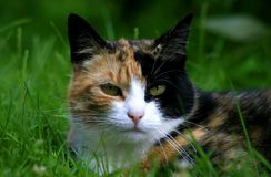 方格的猫 免版税库存照片