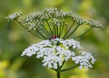 方格的甲虫侧视图在白色开花的 免版税库存照片