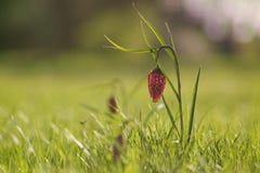 方格的百合春天 免版税图库摄影