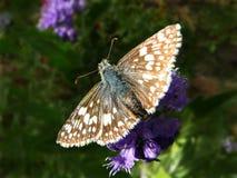 方格的船长蝴蝶Pyrgus草本种属在Caryopteris 免版税图库摄影