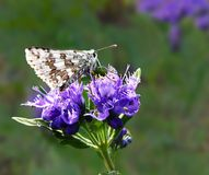 方格的船长蝴蝶Pyrgus草本种属的翼在Caryopteris折叠了 免版税库存照片