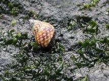 方格的荔枝螺- Littorina scutulata 库存照片