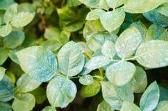 施肥为玫瑰,树,对待从害虫的植物,液体哺养,在庭院使用有杀虫剂的手喷雾器 免版税库存照片