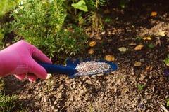 施肥庭园花木在夏天 在手套的花匠手 免版税库存图片