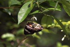 旁边特写镜头观点的黑橙色棕色蝴蝶颠倒坐吃它的花蜜的白色小花 免版税图库摄影