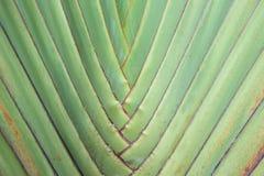 旅客的棕榈树 库存照片