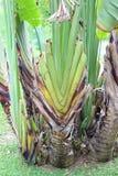 旅客的棕榈,香蕉叶子 免版税库存照片