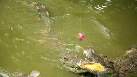 旅游人民哺养的动物,鳄鱼农场,越南 影视素材