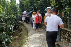 旅游参观葡萄柚森林 库存图片