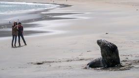 旅游女孩从一条狂放的海狗在远处站立在新西兰 免版税库存图片
