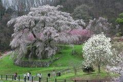 旅游敬佩一棵巨大的樱桃树在一个有雾的春天庭院里 库存照片