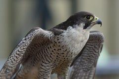 旅游猎鹰准备好飞行 免版税库存照片