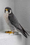 旅游猎鹰在冲绳岛,日本 免版税库存图片