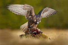 旅游猎鹰用抓住野鸡 美丽的鸷旅游猎鹰哺养的杀害在绿色青苔岩石的大鸟 图库摄影