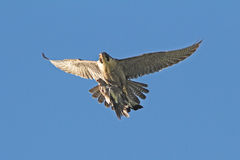 旅游猎鹰运载斑尾林鸽牺牲者对它的巢 免版税库存图片