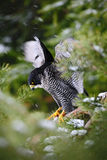 旅游猎鹰,鸷与飞行雪的坐与深绿森林的树在背景,在自然的行动场面中 库存图片