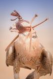 旅游猎鹰-迪拜沙漠Conservatio储备- Al玛哈- 免版税库存图片