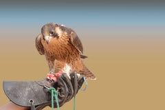 旅游猎鹰-迪拜沙漠Conservatio储备- Al玛哈- 库存图片