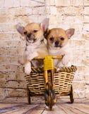 旅行乘自行车的小狗 库存图片