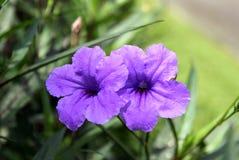 旅行向曼谷,泰国 两朵美丽的紫色花 库存照片