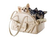 旅行袋子和奇瓦瓦狗 免版税图库摄影