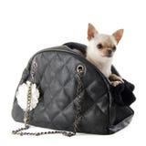 旅行袋子和奇瓦瓦狗 免版税库存照片