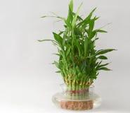 旅行水壶的家庭竹水厂 免版税库存图片