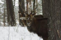 旅途通过西伯利亚 滑稽的鹿 库存图片