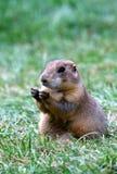 旅鼠 免版税库存图片