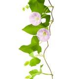 旋花植物粉红色 库存照片