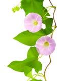 旋花植物粉红色 库存图片