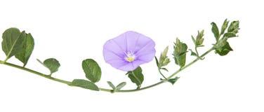 旋花植物 库存图片