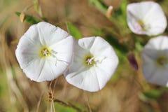 旋花植物arvensis 免版税库存照片